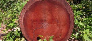 درخت ماهگونی