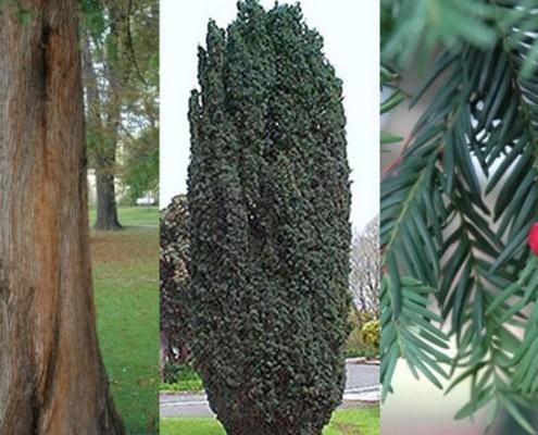 درخت سرخدار یاقوت جنگل های شمال ایران